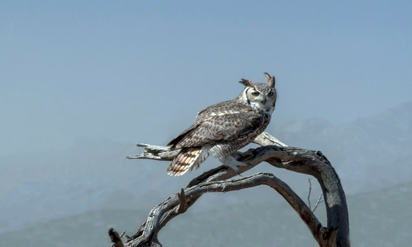 Great Horned Owl In Tree Photography Art | Great Wildlife Photos, LLC