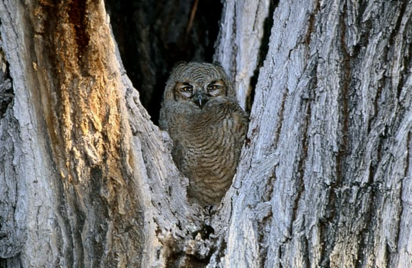 Owl Chick In Cottonwood  Photography Art | Great Wildlife Photos, LLC