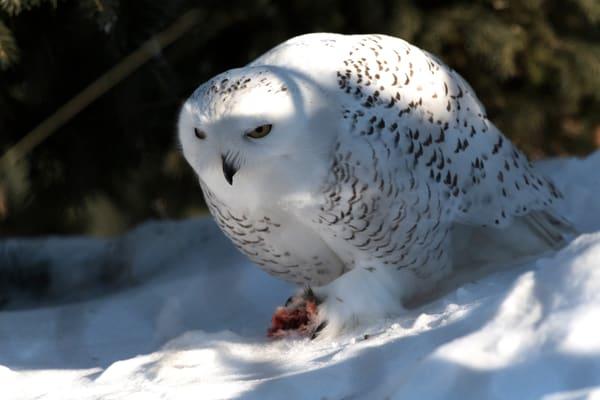 Snowy Owl Eating Photography Art | Great Wildlife Photos, LLC