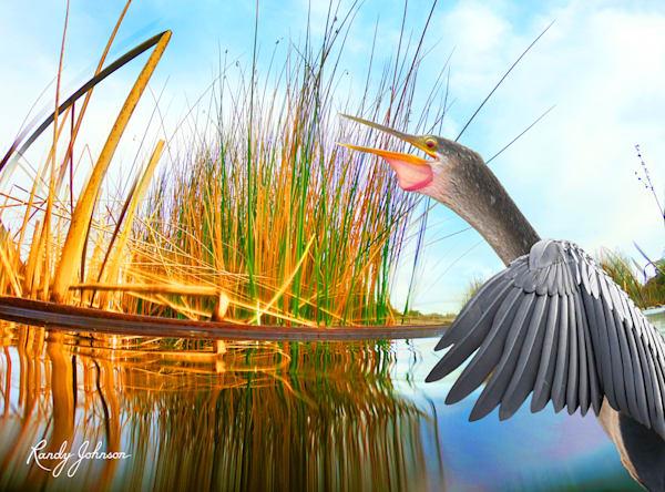 Anhinga Waters Art | Randy Johnson Art and Photography