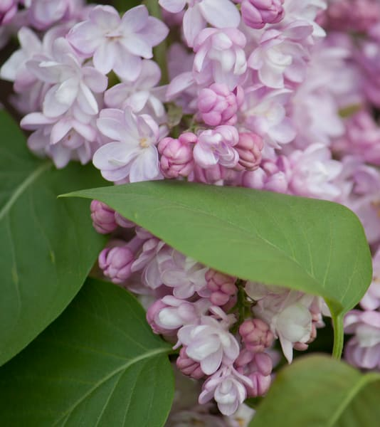 garden-tile, lilacs, flower, photo