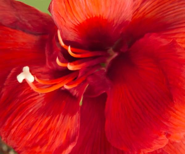 Flower Amaryllis 2588 P 20x24 Photography Art | Jeff Rogers Photography, Inc.