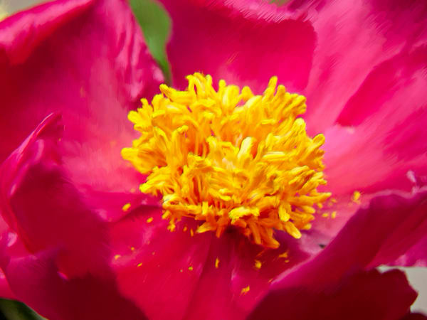 Flower Peonia2946 P18x24txt Photography Art | Jeff Rogers Photography, Inc.