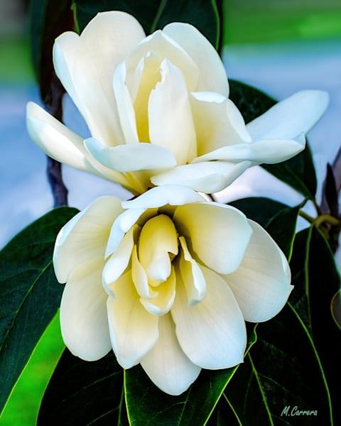Magnolia Flower