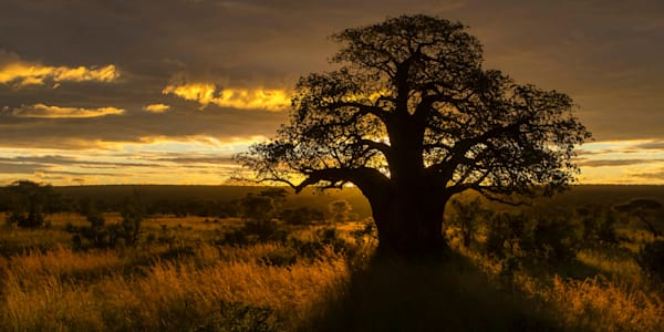 Collector's edition of Baobab Sunrise on archival aluminum.