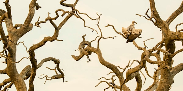 The Vulture Tree Limited Edition.