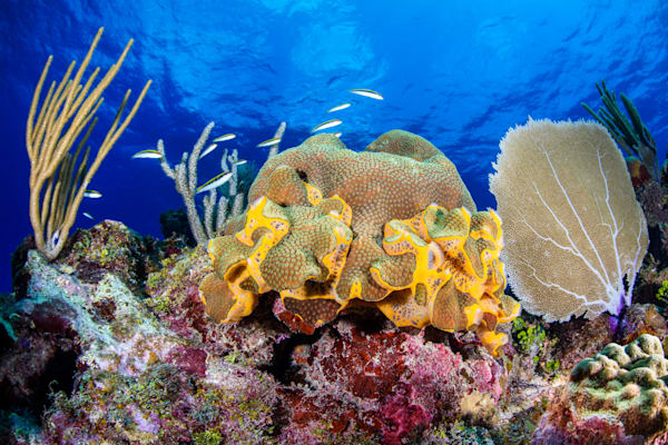 Caribbean Coral is an underwater photograph available as fine art for sale.