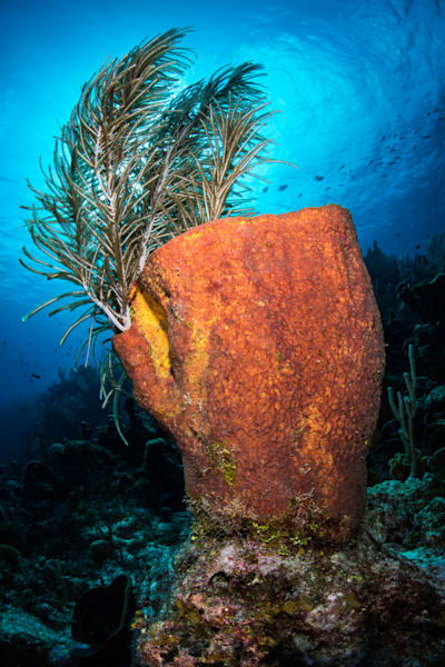 Barrel Sponge is an underwater fine art photograph available for sale.
