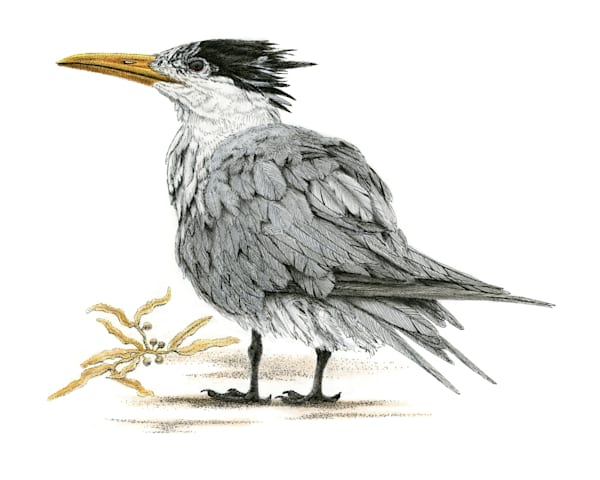 Royal Tern Art | Greg Lewallen