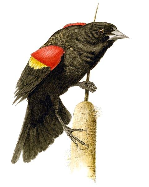 Red Winged Blackbird Art | Greg Lewallen