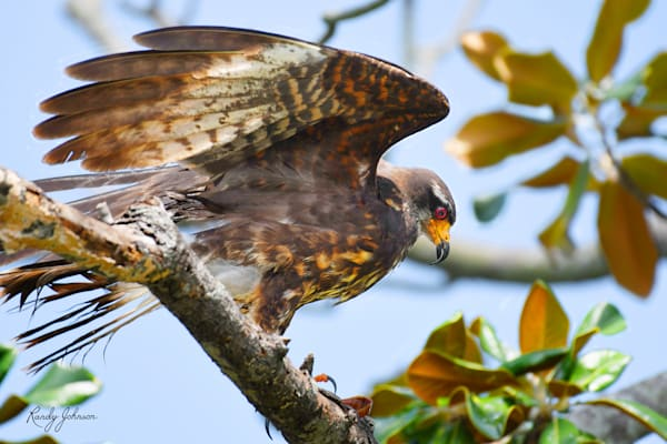 Snail Kite With Apple Snail In Magnolia Art | Randy Johnson Art and Photography