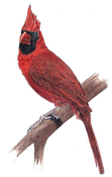 Male Cardinal Art | Greg Lewallen