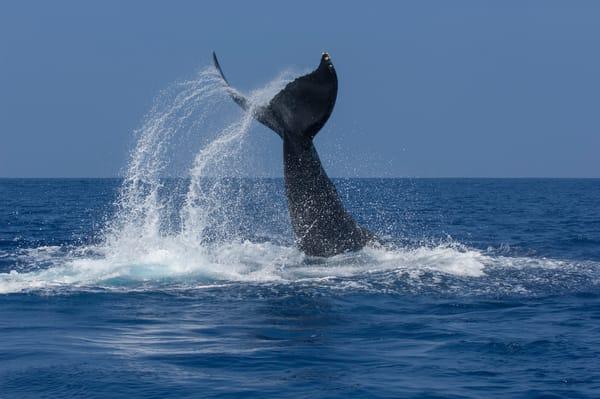 Whale Tale Slap Photography Art | Douglas Hoffman Photography