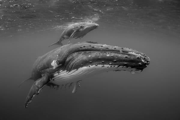 Humpback Amore Photography Art | Douglas Hoffman Photography