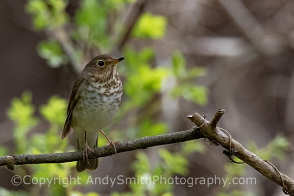 This Swainson's Thrush, Catharus ustulatus, was found along the Duck Pond Trail in Swartswood State Park New Jersey in May