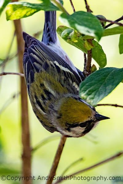 Chestnut-sided Warbler, Dendroica pennsylvanica