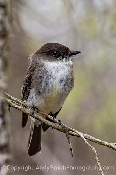 Eastern Phoebe Looking Right