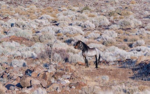 Grey Stallion In Sagebrush Photography Art | Great Wildlife Photos, LLC
