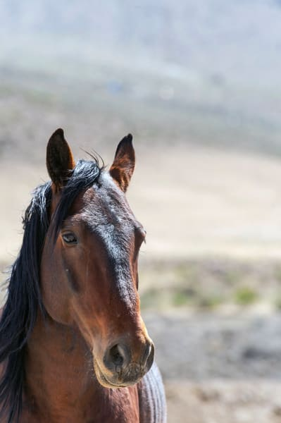 Poised Wild Stallion Photography Art | Great Wildlife Photos, LLC