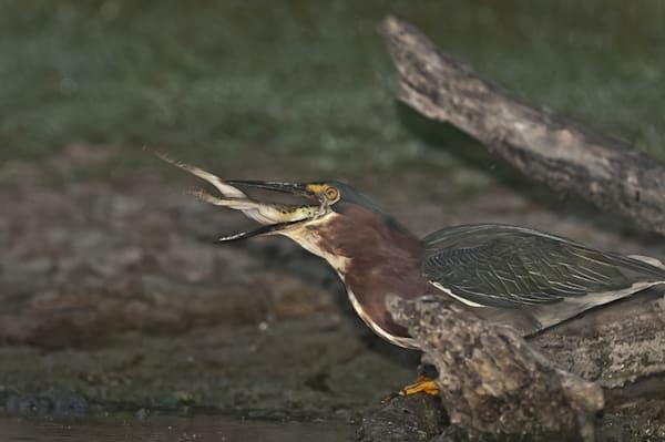 Green Heron Swallowing Photography Art | Great Wildlife Photos, LLC