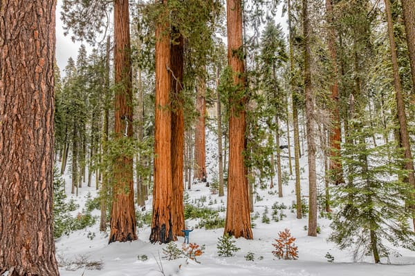 Sequoia Tree Winter Art | Michael Blanchard Inspirational Photography - Crossroads Gallery