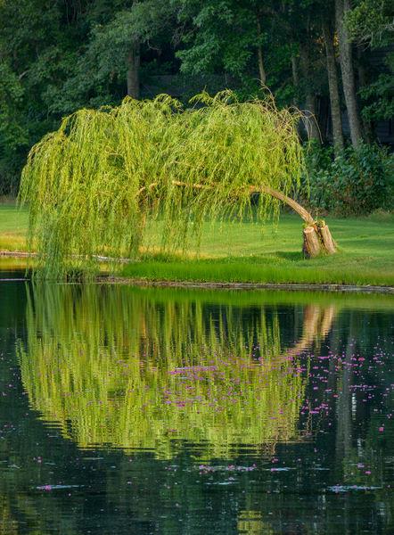 Pawleys Tree Bloom 2782usm30