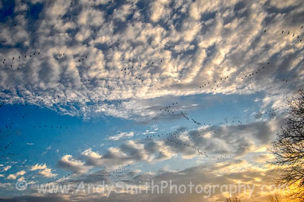 Snow Geese in Sky at Sunrise