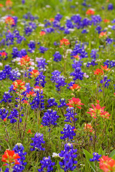 Tx Wildflowers 4515full Photography Art | Jeff Rogers Photography, Inc.