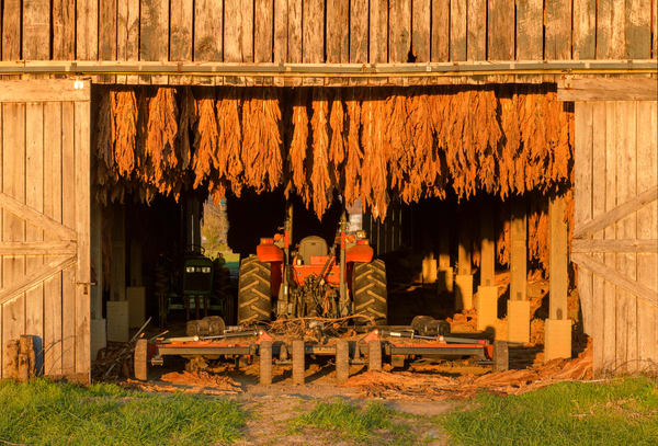 Tobacco Barn 1955