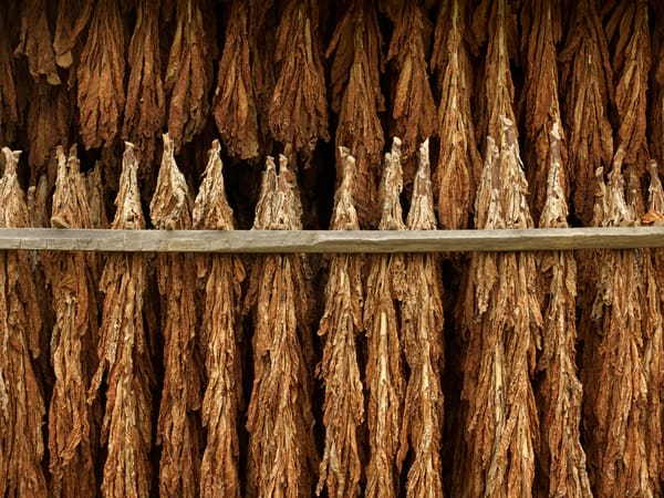 Tobacco Hanging 1010191full Photography Art | Jeff Rogers Photography, Inc.