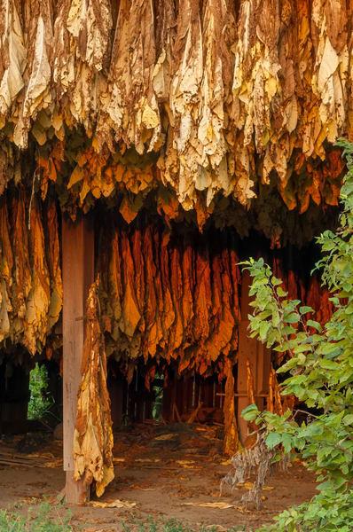 Tobacco Hanging 6195