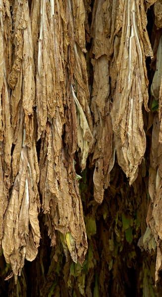 Drying Tobacco 355021