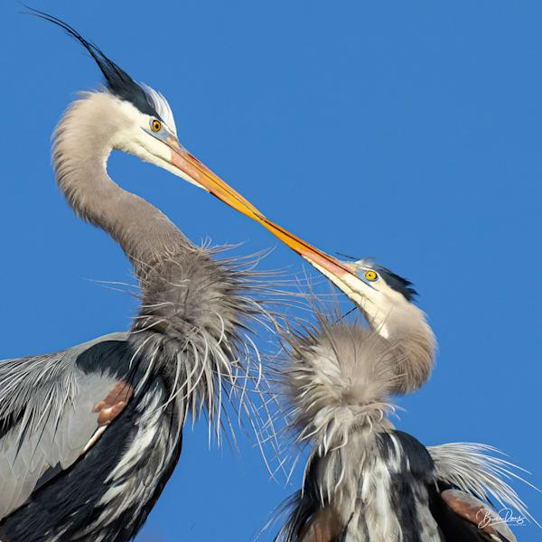 Great Blue Herons in Love