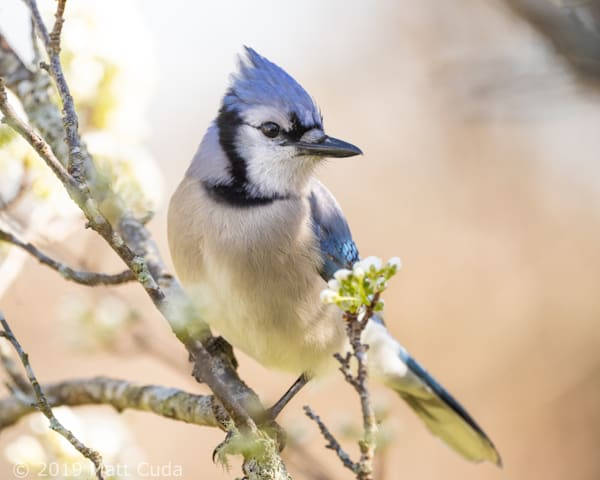 Blue Jay Photography Art | Matt Cuda Nature Photography