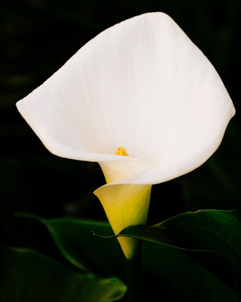 Easter Lilly 2017
