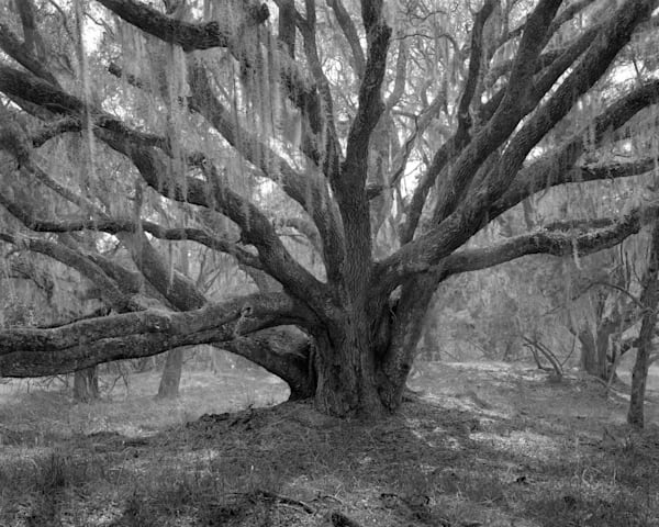 Oak Tree, Mule Run Road, Ossabaw Island, Georgia Photography Art | Rick Gardner Photography