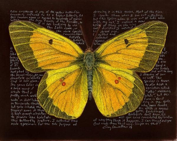 Coliaseurythememale Art   Greg Lewallen