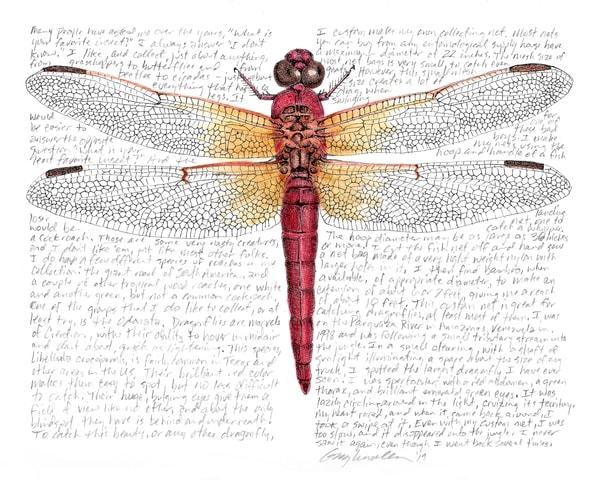 Libellulacroceipenis Art   Greg Lewallen