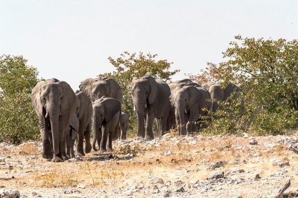 Elephant Family Traveling Lbs 9192 Photography Art | Great Wildlife Photos, LLC