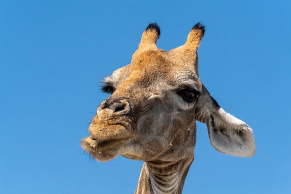 Giraffe Curious Lbs 5292 Photography Art | Great Wildlife Photos, LLC