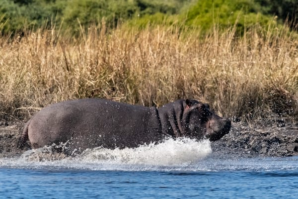 Hippo Charging Lbs 3781 Photography Art | Great Wildlife Photos, LLC