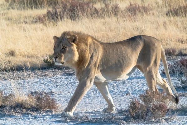 Lion Stalking Lbs 0832 Photography Art | Great Wildlife Photos, LLC