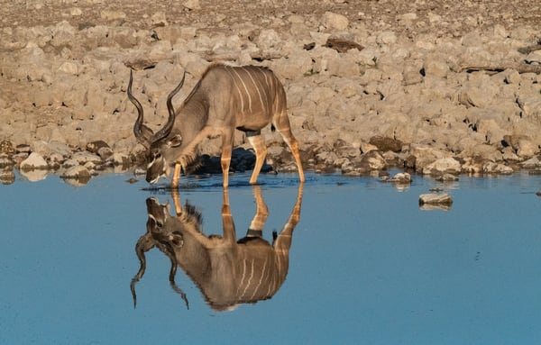 Kudu With Reflection Lbs 9542 Photography Art | Great Wildlife Photos, LLC