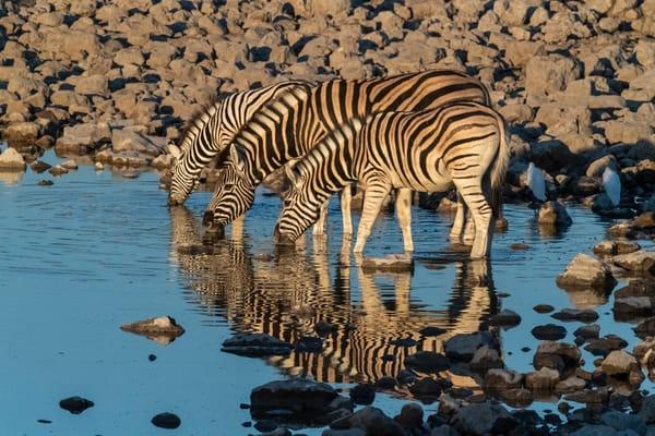 Zebras At Dawn Lbs 8804 Photography Art | Great Wildlife Photos, LLC