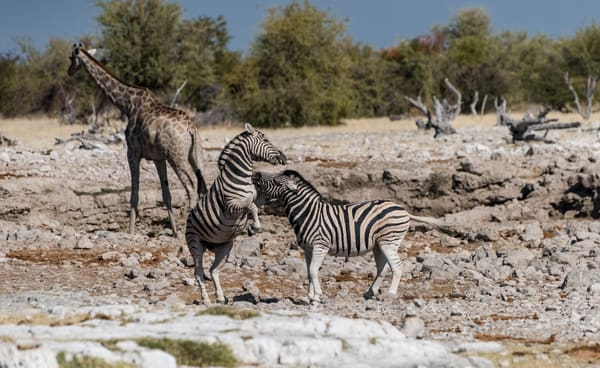 Zebras Fighting Bsc1315 Photography Art | Great Wildlife Photos, LLC