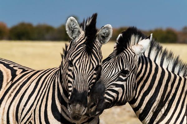 Zebra Stallion Play Lbs 1110 Photography Art | Great Wildlife Photos, LLC