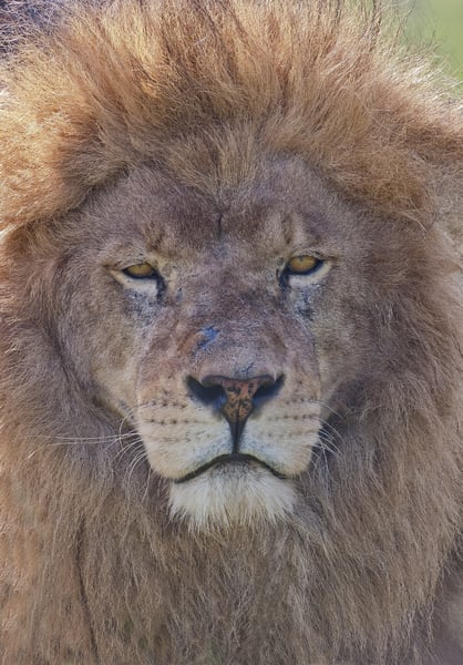 African Lion Close Up Photography Art | Great Wildlife Photos, LLC