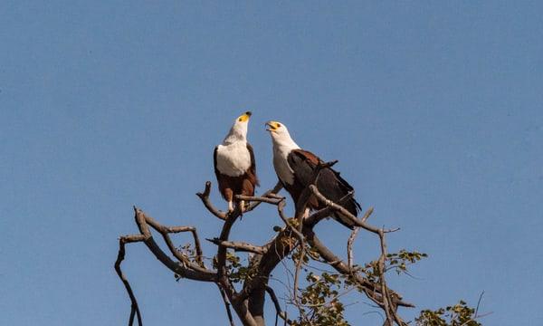 Fish Eagles Mating Ritual Photography Art | Great Wildlife Photos, LLC