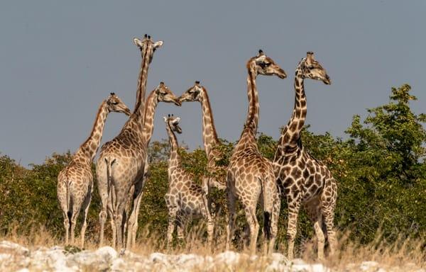 Giraffe Tower Photography Art | Great Wildlife Photos, LLC