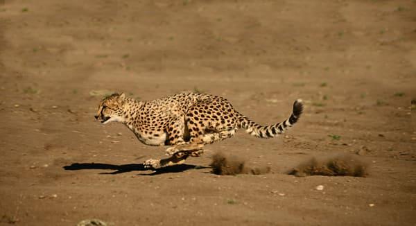 Cheetah Full Throttle  Photography Art | Great Wildlife Photos, LLC